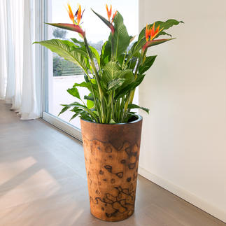 Palmholz-Pflanztopf Exotischer Pflanztopf. Oder außergewöhnliche Bodenvase. Aus seltenem, argentinischem Palmholz.