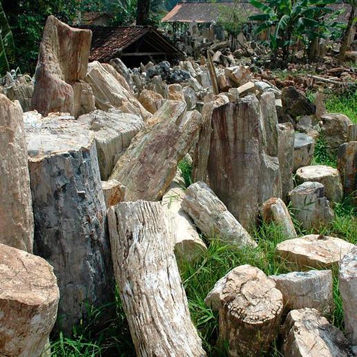 Sensationell: 20 Mio. Jahre altes Holz der tropischen Gattung Dipterocarpus.