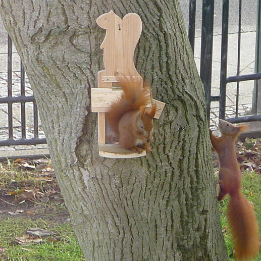 Kaum aufgehängt wird das Futterhaus Treffpunkt zahlreicher Eichhörnchen. (Kundenfoto)