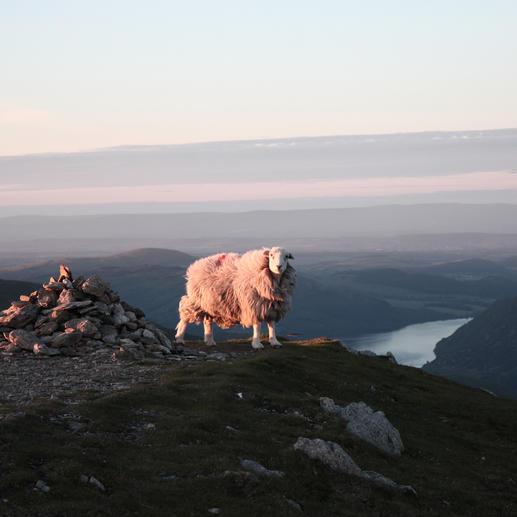 Herdwick-Schafe sind echte Gipfelstürmer: Frühen Aufzeichnungen zufolge waren sie schon im 12. Jahrhundert auf den höchsten Bergen Nordwest-Englands zu Hause. Bis heute weidet die seltene Rasse in den Hochmooren des Nationalparks Lake District. Das meist feuchte, stark windige Klima auf über 900 Metern Höhe macht die Tiere (und ihre Wolle) extrem widerstandsfähig.