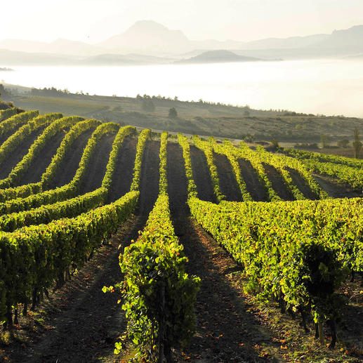 Weinberge in Languedoc-Roussillon